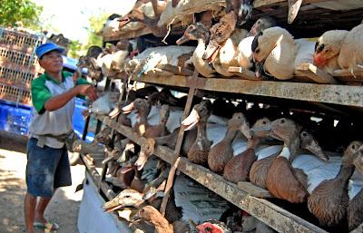 Pengaturan Produksi Penting Dilakukan Dalam Peluang Usaha Ternak Bebek