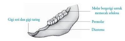 struktur gigi pada hewan ruminansia