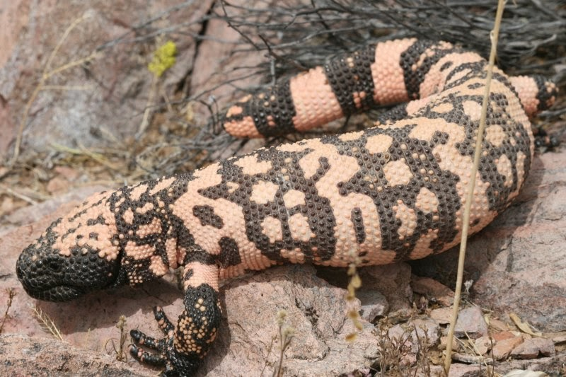 Gila Monster Animals | Amazing Facts & Latest Pictures ...