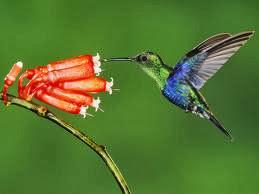 kolibri burung terkecil