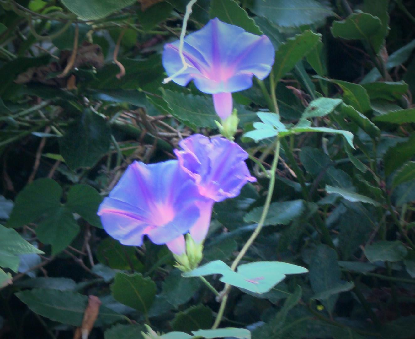 La ventana de javiruli trepadoras 1 ipomea don diego for Ipomea purpurea