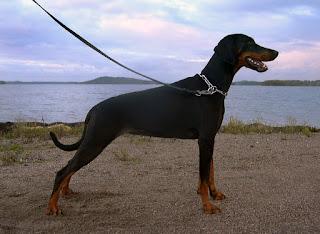 كلب الدوبرمان