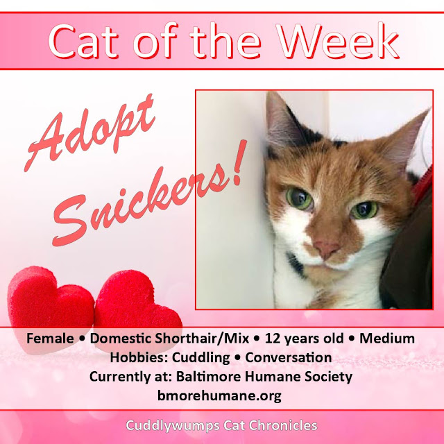 Cat of the Week: Adopt Snickers!