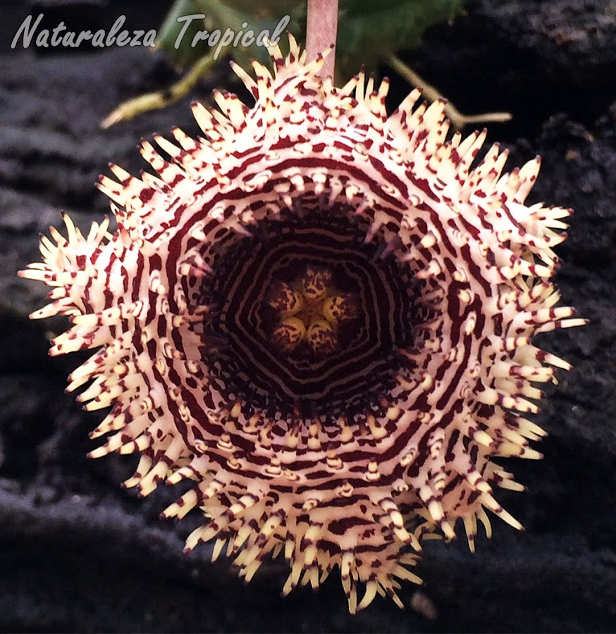 Flor típica de la planta suculenta Huernia hystrix