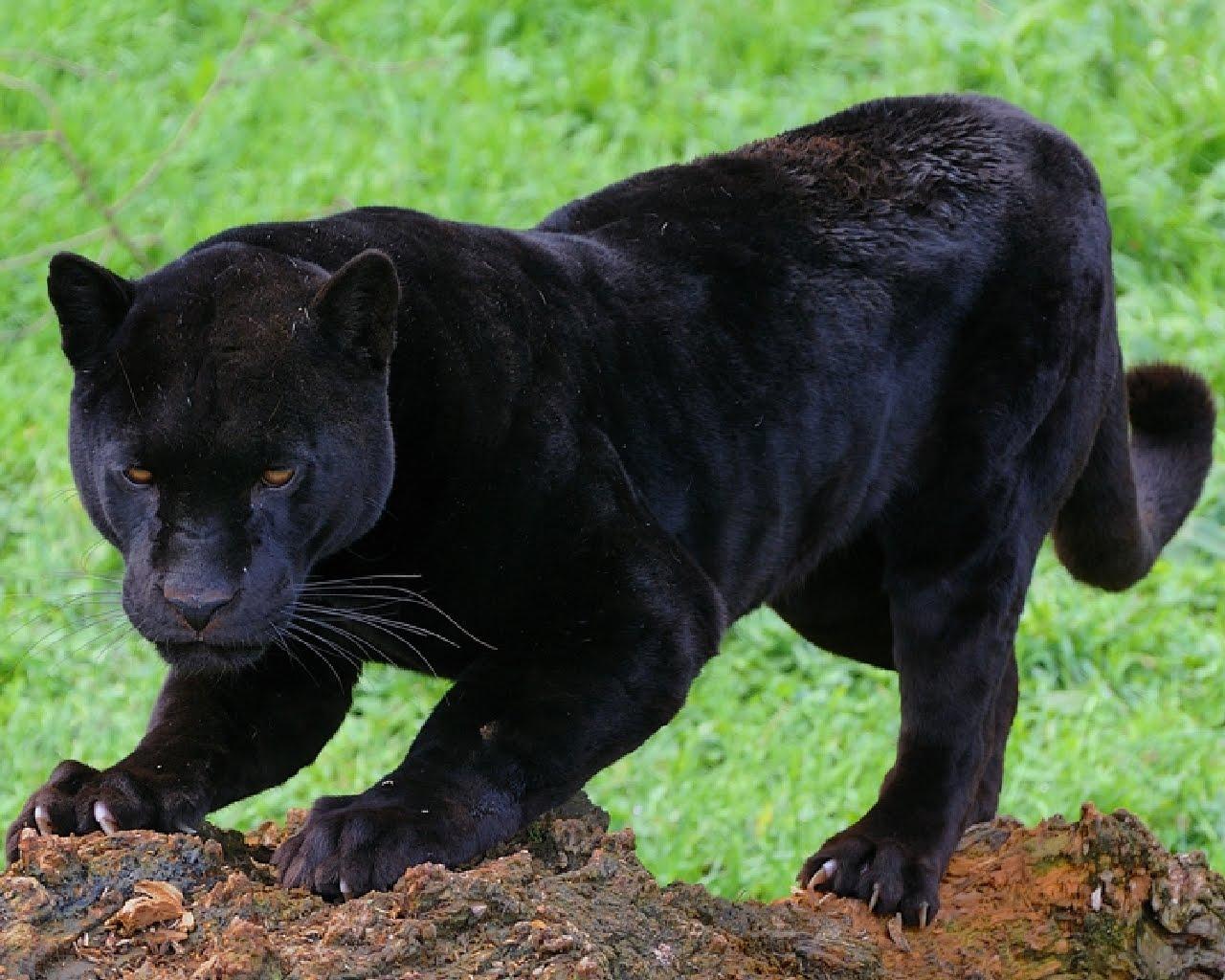 Black Panther Wallpaper Fotograf 237 As De Panteras Negras Black Panthers Photos