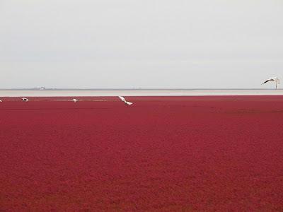 الشاطئ الأحمر الذي يقع علي نهر panjin-red-beach-92.