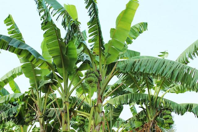 Banana trees, Phnom Penh, Cambodia - travel blog