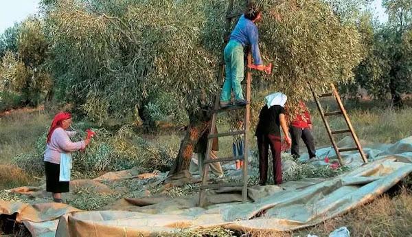 Κρήτη: Ο «Ηφαιστίων» έσβησε τις τελευταίες ελπίδες των ελαιοπαραγωγών