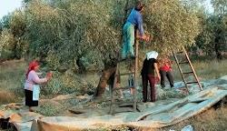 Όσες ελιές δεν πρόλαβε να βλάψει ο δάκος, τις άφησε... για τον «Ηφαιστίωνα»! Στην ούτως ή άλλως κακή χρονιά για το ελαιόλαδο της Κρήτης, προ...