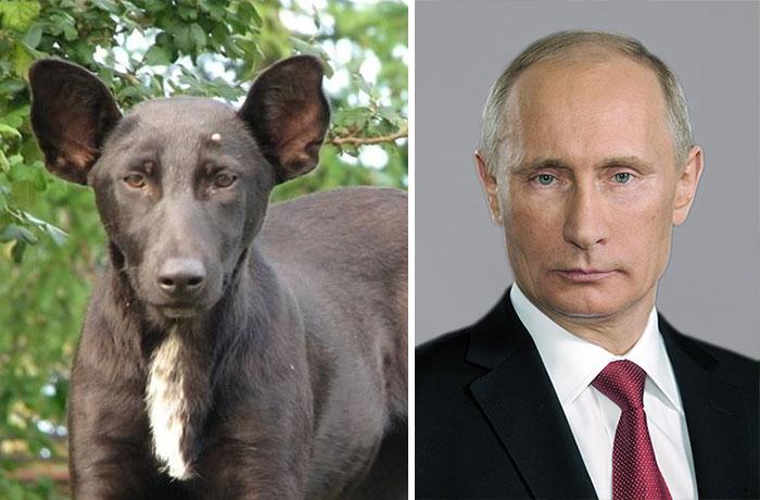 Um cão que parece Vladimir Putin