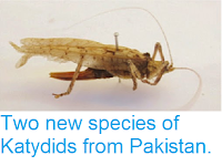 http://sciencythoughts.blogspot.co.uk/2015/01/two-new-species-of-katydids-from.html