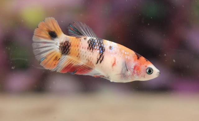 Klasifikasi dan Morfologi Ikan Cupang (Betta sp.)