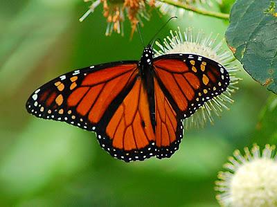 10 อันดับสัตว์, จัดอันดับ, ชีวิตสัตว์, สัตว์มีพิษ, สิบอันดับสัตว์, ผีเสื้อโมนาร์ช Monarch