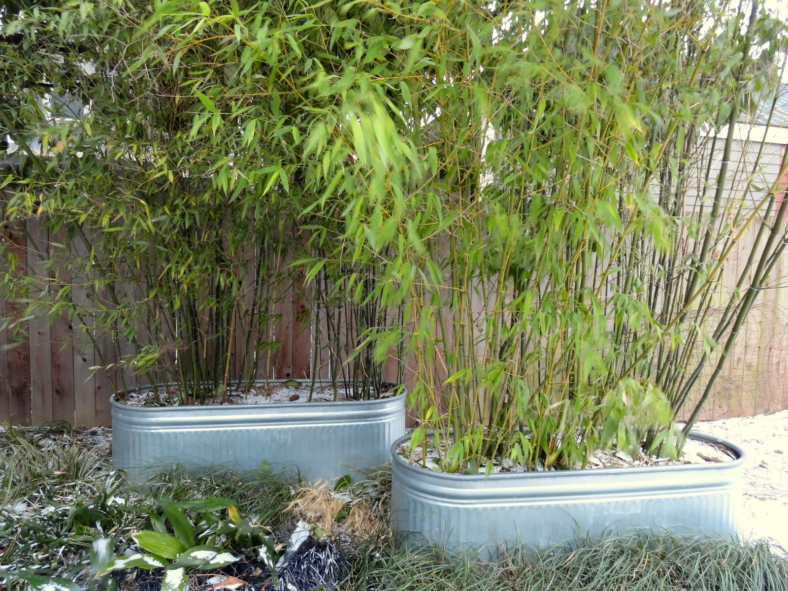 Danger Garden To Bamboo Or Not To Bamboo That Is The Question