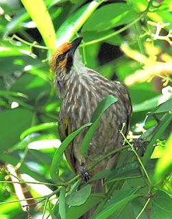 Burung Cucak Rowo - Ciri Suara Cucak Rowo yang Baik Untuk Dipasangkan - Penangkaran Burung Cucak Rowo