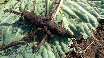 ワラビの太い根にチガヤが貫通して、スギナの根が入り込んでいる。