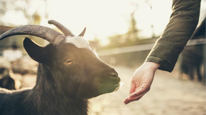 Wallpaper: Feeding the Goat