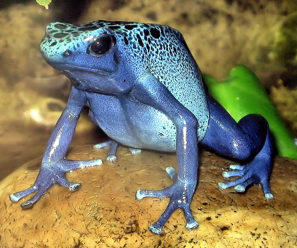 The most poisonous species of frogs in the world 58