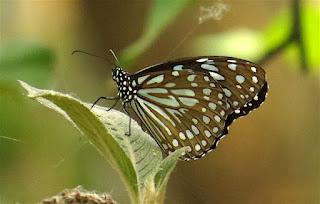 Tirumala limniace, Blue Glassy Tiger