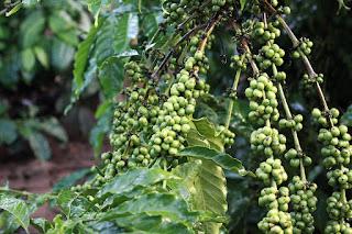 cara pemangkasan pohon kopi yang baik supaya berbuah lebat