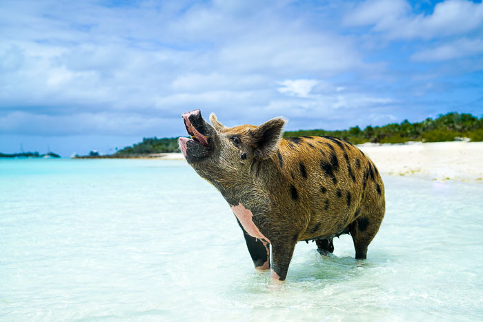 Swimming With Pigs In Exuma New York City Fashion And