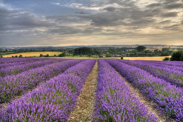 cánh đồng hoa oải hương đẹp nhất thế giới 23