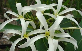 Gambar Bunga Kamboja yang Indah 13
