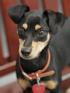 min pin chihuahua mix puppies for sale katie in kansas gracie the minnie jack 466