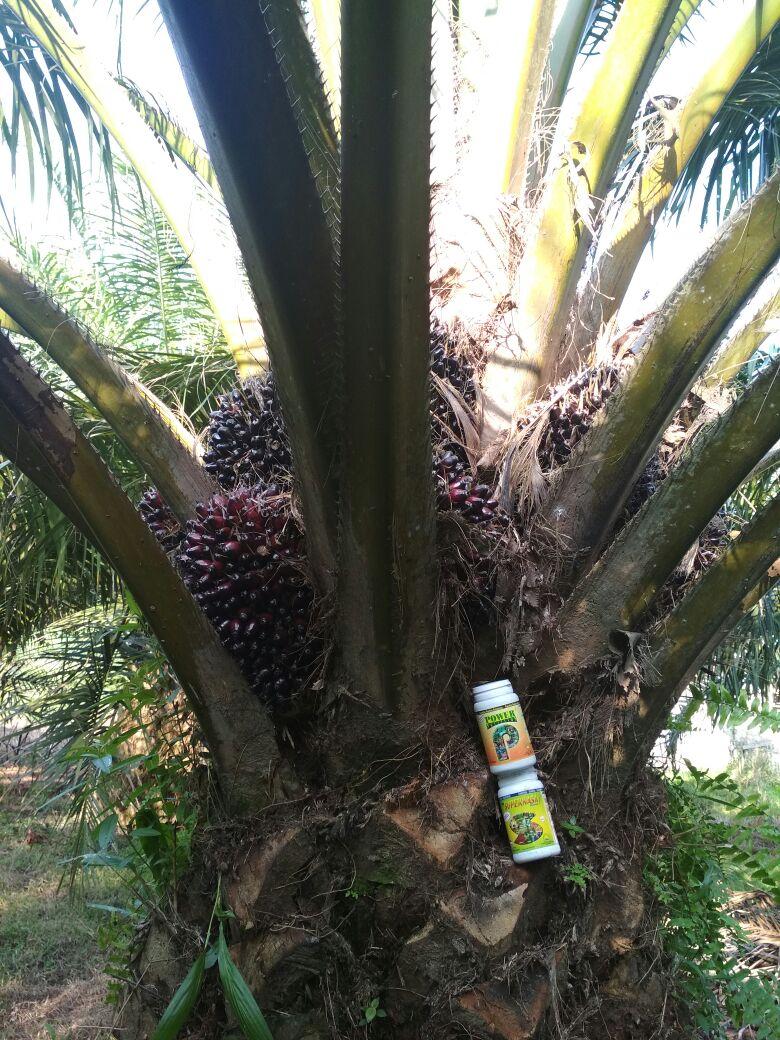pemupukan kelapa sawit di lahan gambut pdf