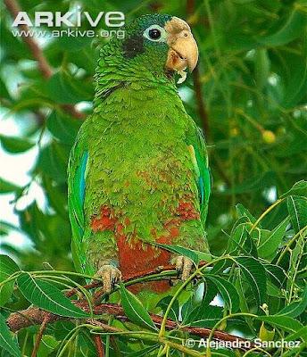 Amazona de La Española: Amazona ventralis