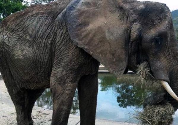 La Elefanta Ruperta cayó y permanece en estado grave