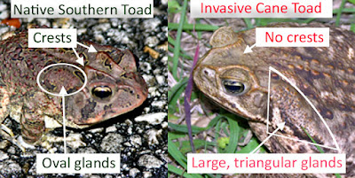 Marine toads