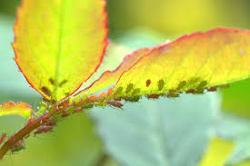 Pengendalian Kutu Daun dengan Pestisida Nabati dan Beuveria Bassiana
