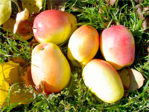 Сорт яблок Синап