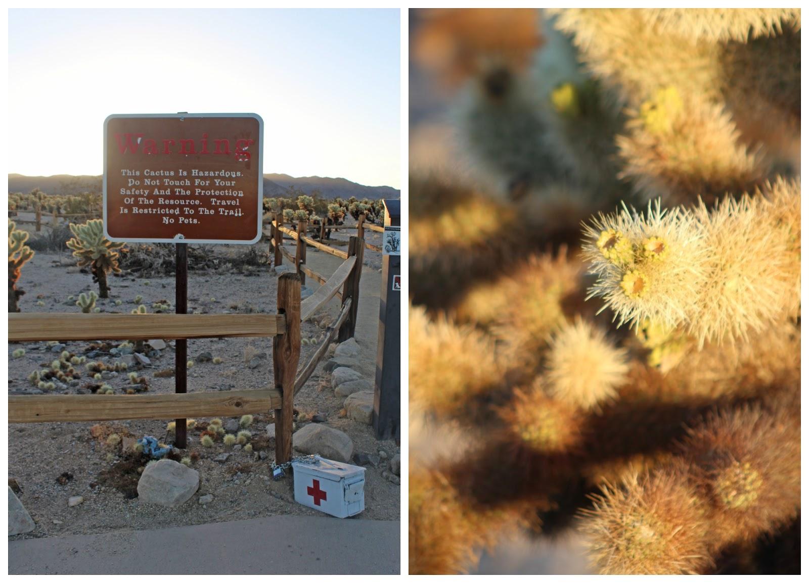 cholla cactus garden sunset 5