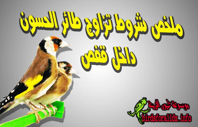 تزاوج طائر الحسون داخل قفص و شروط سلامته