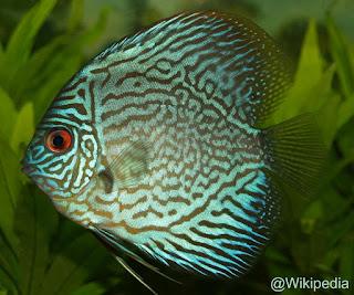 Spesies Ikan Discus S. aequifasciatus1