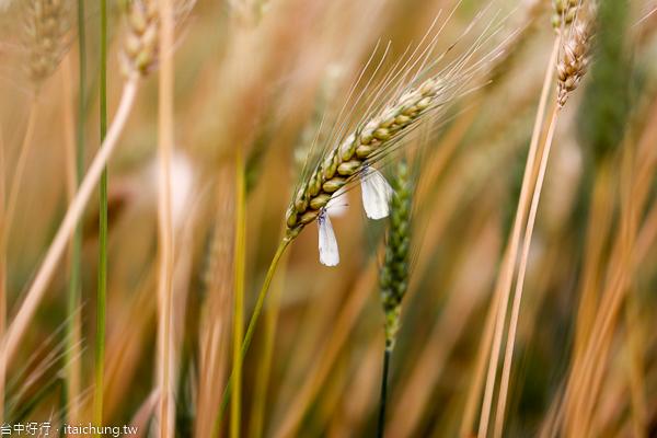 台中大雅麥鄉小麥黃了,秀山路土角厝小麥田好好拍,外拍熱門景點