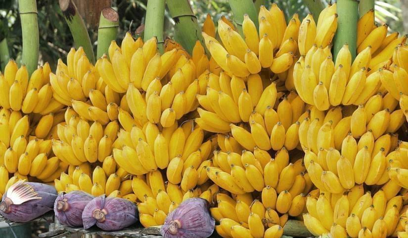 Banana | Cachos de Bananas