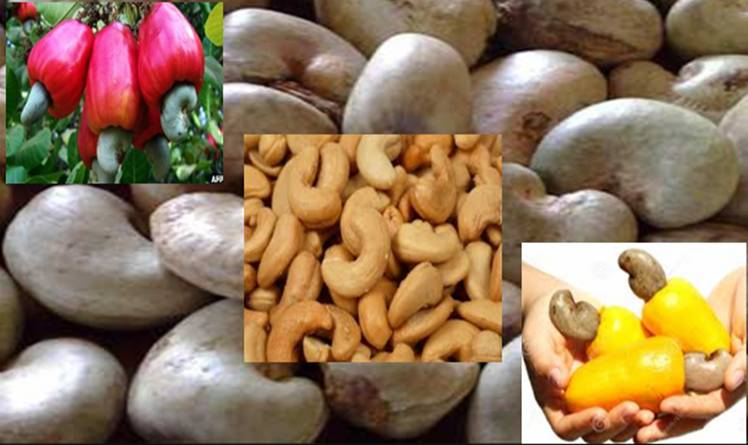 Make Millions of Naira through Cashew Export from Nigeria.