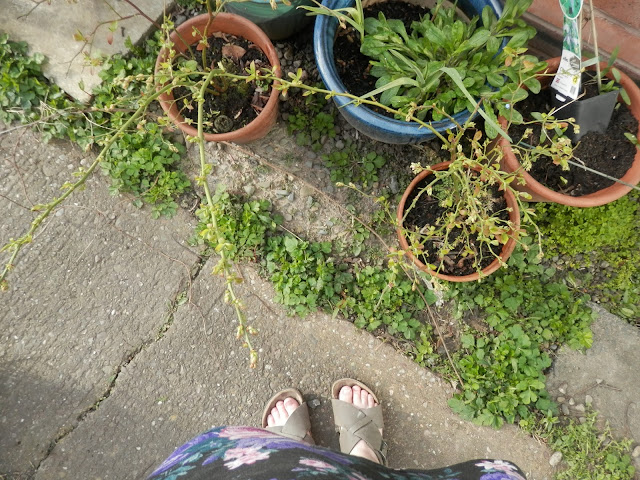 Diary of a suburban edible garden, March 2017. By UK garden blogger secondhandsusie.blogspot.com #gardening #gardenblogger #polyculture #ediblegarden #suburbangarden