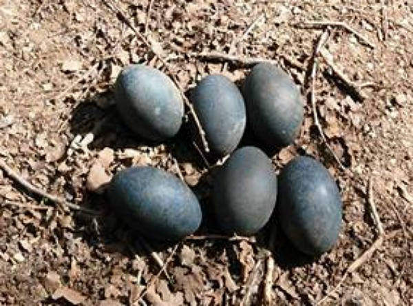 What do Emu eggs look like?
