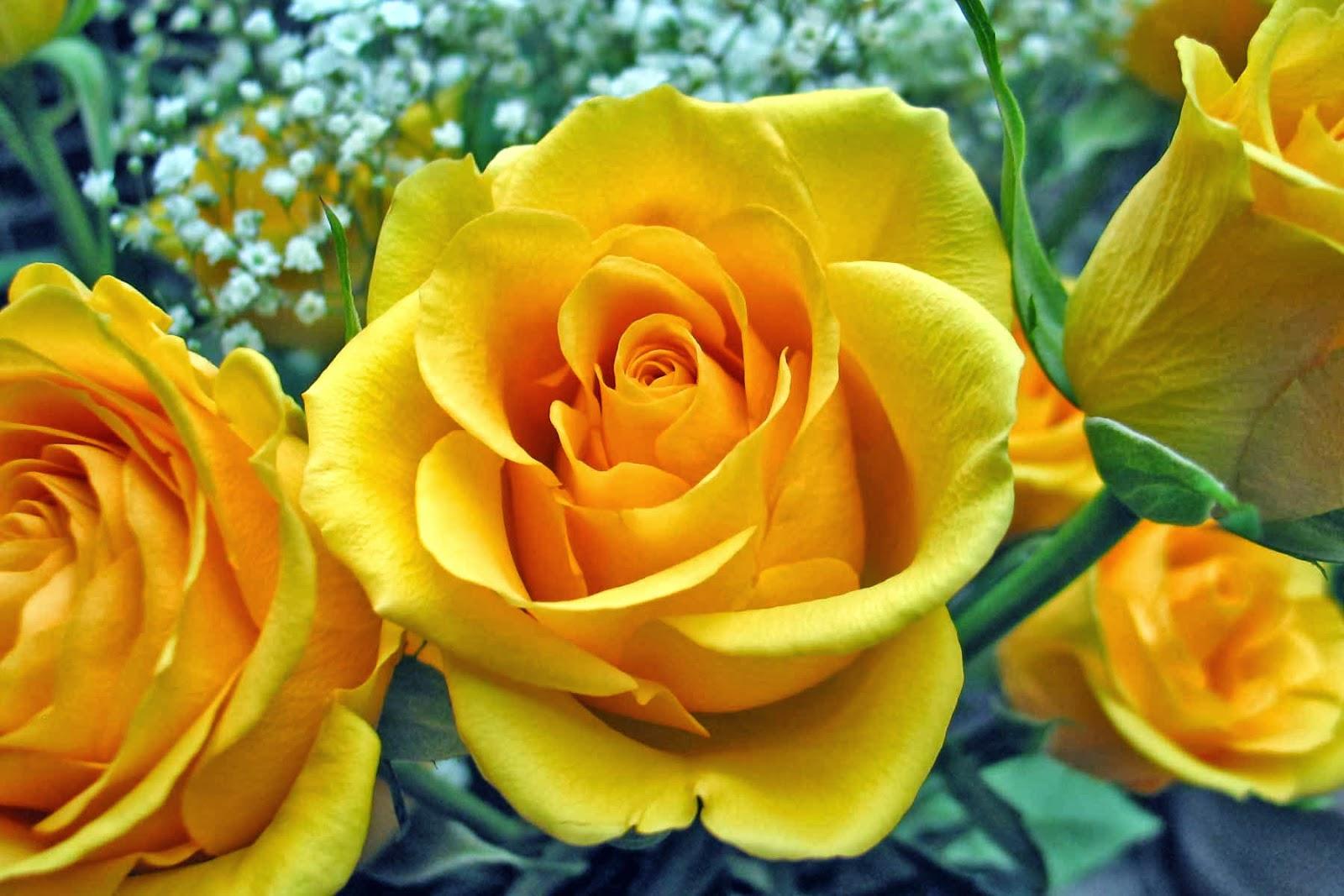 Roses Download Free