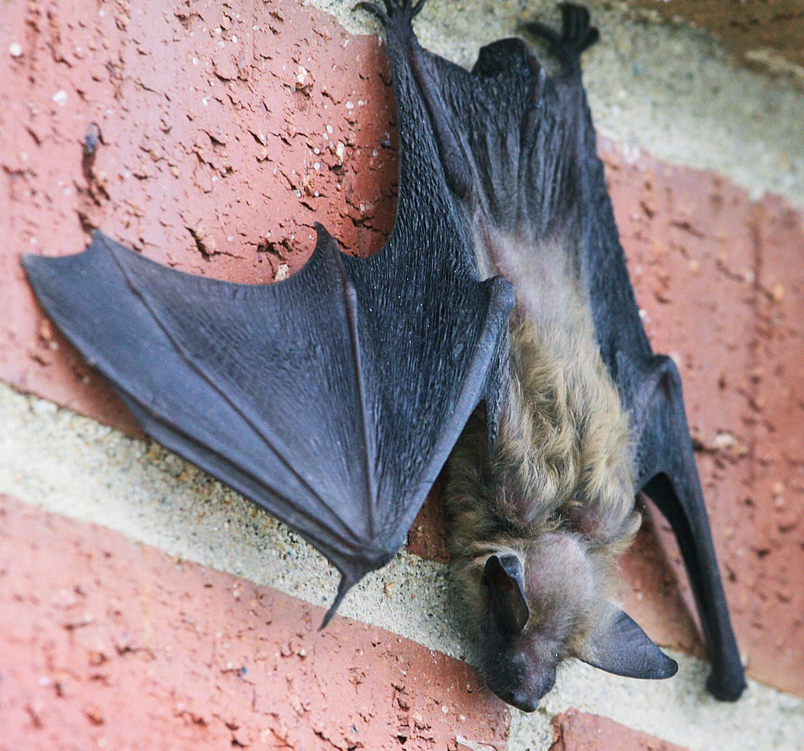 We Had A Delightful Little Visitor At The Apartment Last Week Brown Bat