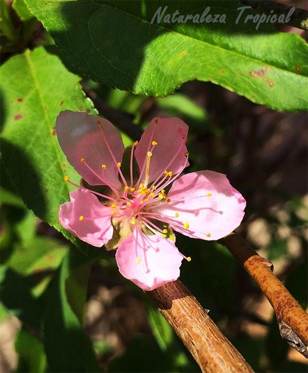 Otra variante de la flor del Almendro, género Prunus