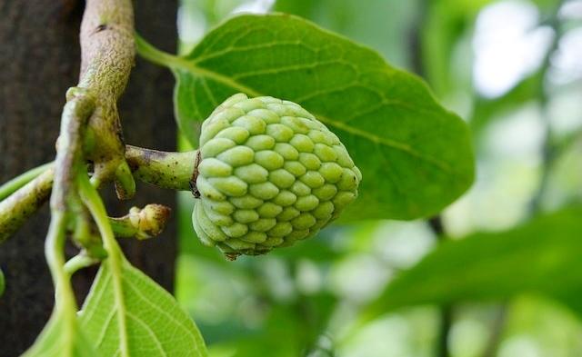 Cultivo da Anoneira (Fruta do conde)