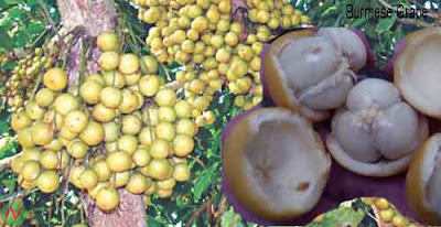 burmese grape fruit