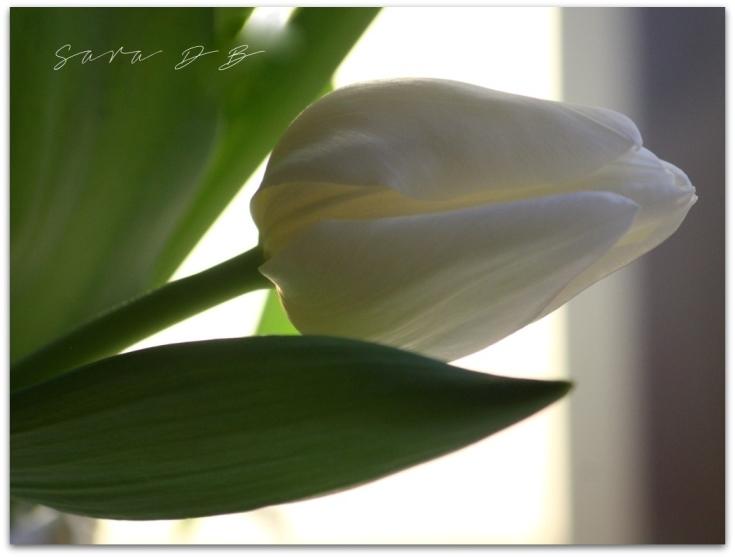 white tulip Tulipa