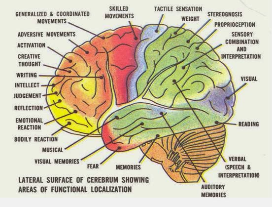 Function Of Parts Of The Brain
