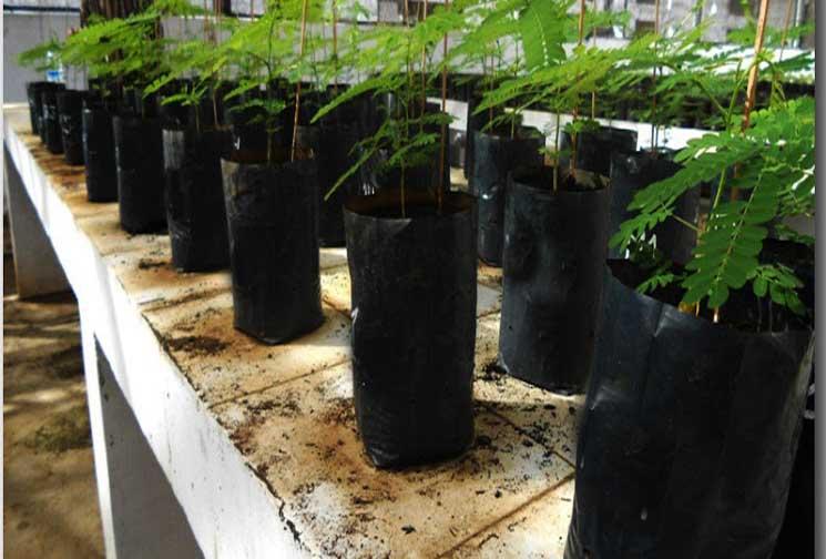Mengenal Tanaman Sengon ( Paraserianthes falcataria (L) )